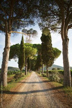 Typical tuscany tree-lined boulevard in sunny summer day