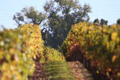 Chateau Lamartine Castillon Cotes de Bordeaux . Photo Erwan Giraud 10/2018 Bordeaux, Vineyard, Photos, Plants, Garden, Outdoor, Pictures, Garten, Vineyard Vines