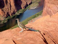 Roadrunner - New Mexico