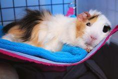 super cute chilling guinea piggy