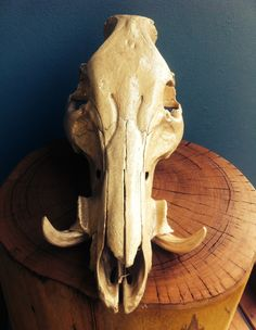 """Wild Boar Skull . Flat gold . Repurposed collectable for those that like to stand out from the crowd . """"Must Have"""""""
