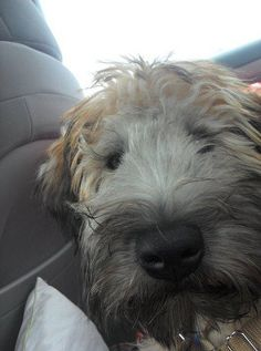 "A puffball, in need of some fur styling; nevertheless, a lucky guy, who managed to make manifest his Wheaten will by maneuvering himself like a laser missile, into the family car. He's getting to ""go bye-bye."" Now, he's putting @ his sweet & innocent face."