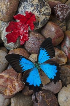 Contrast. Nature. The blue in the butterfly contrasts to the brown rocks and also to the red leaf. The almost triangular shape of each section of the wings is contrast to the smooth round stones.