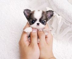 Question: Who loves tiny puppies? Answer: You. You do. Correction: Everyone! Ev… Question: Who loves tiny puppies? Answer: You. You do. Correction: Everyone! Everyone loves tiny puppies! The…Read Tiny Puppies, Teacup Puppies, Cute Dogs And Puppies, Doggies, Adorable Puppies, Teacup Chiwawa, Teacup Yorkie, Cute Little Puppies, Cute Dogs And Cats