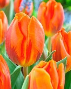Tulipa single early 'Hermitage' Tulip