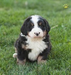 ♫ Bubba ♫ ~Bernese Mountain Dog~ #BubbaPup #BerneseMountainDogLove #LancasterPuppies