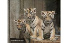These baby tigers are so cute, but it makes me sad that these three cubs represent 1% of the Amur tigers left in the world.