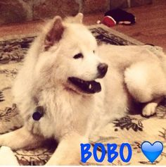 Meet BOBO, a Petfinder adoptable Chow Chow Dog   Dix Hills, NY   Bobo is a 4 year old male cream chow with a chow aloof personality. He is great with other dogs but...