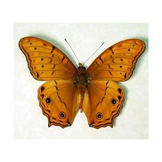 Real Framed Cruiser Vindula Arsinoe Butterfly 203 (£32) ❤ liked on Polyvore featuring home, home decor, wall art, home & living, home décor, silver, taxidermy & curiosities, black framed wall art, black home decor and framed tree wall art