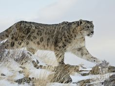 Snow Leopard (Uncia Uncia), in Captivity, Near Bozeman, Montana, USA Photographic Print by James Hager at Art.com