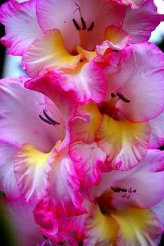 flowersgardenlove:  Gladiolus Flowers Garden Love