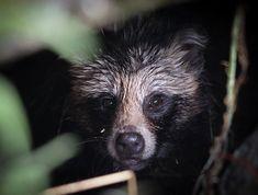 Supikoira / raccoon dog Black Bear, Dogs, Animals, American Black Bear, Animaux, Doggies, Animal, Animales, Pet Dogs