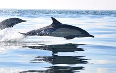 Swimming dolphins, South Africa