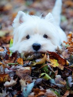 Adorable cute white puppy in the fall.... click on picture to see more