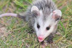 Juvenile opossum enjoying a walk.