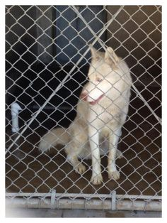 #FOUNDDOG  #SANBERNARDINO #CA 1 YEAR OLD MALE #SIBERIANHUSKY ID:  A457686 https://www.facebook.com/permalink.php?story_fbid=479860232132840&id=298927593559439&substory_index=0