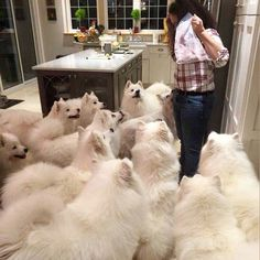 "agent-gwendolyn: ""hahanicholexo: "" I think I found a photo of what my dreams look like ☁️☁️☁️ omg Samoyed heaven "" bootieshunter """