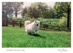 American Eskimo Dog running.  Lensbaby Velvet 56. Northwest Arkansas Pet Photography