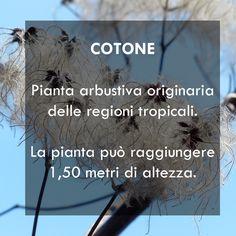 Cotone, sai da dove proviene?  #interiordesign #tendaggi #textile #textiles #fabric #homedecor #homedesign #hometextile #decoration #curtains #madeinitaly #ctasrl #italiantextile #design #interior #quote #cotone #piantadicotone #plant #nature #tessuti Visita il nostro sito www.ctasrl.com e scarica le nostre brochure su: http://bit.ly/1nhrLQM