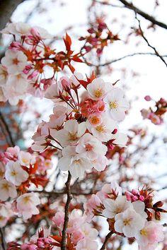 cherry, japan, and sakura