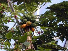 https://media.essen.de/media/wwwessende/bilder/aemter/ordner_67/fruchtenderpapayabaum.jpg