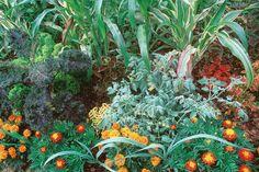 Mais et tomates combinaison à éviter dans le jardin