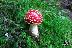 Auch große Fliegenpilze waren mal klein.  - - - - - - - - - - - - - - - Serie:  Schönheit am Wegrand  Beauty along the way - - - - - - - - - - - - - - -  . . . . . . . . . . . . . .  #nature  #strobl #salzburg #art #artist #splashesofcolor #malerischelichtblicke  #wolfgangsee #wasser #blumen #schoenheit #schönheit #schönheitamwegrand #beauty #beautybythewayside #beautyalongtheway