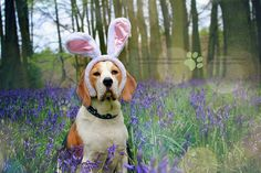 Happy Easter - Porthos Beagle at Bluebell Woods | Hertfordshire, England | Flickr - Photo Sharing!
