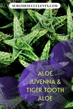 Here's everything you need to know about Aloe Juvenna and Tiger Tooth Aloe. Check it out on this pin! #succulents #indoorgardening #outdoorgardening #gardeningtips #cacti #aloe Indoor Succulents, Succulents Garden, Cactus Plants, Succulent Species, Tiger Tooth, Succulent Care, The More You Know, Types Of Plants, Houseplants