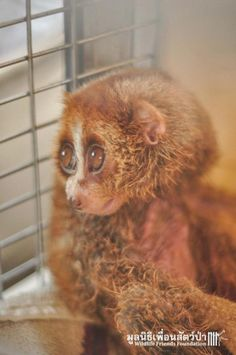 Image result for loris