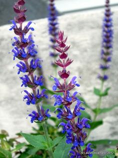 Salvia - got some already, but will get more - what a wonderful, drought-tolerant plant!