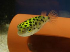 Green Spotted Puffers. I have some of these little guys in my aquarium. Adorable as ever.