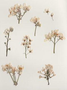 Ana Rosa, warmkid: please appreciate my pressed flowers