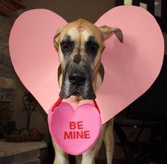 Great Dane Valentine's Day photo prop :-)