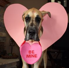 Great Dane Valentine's Day photo prop :-)