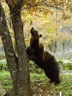 Beautiful marsican bear, Abruzzo (Italy)
