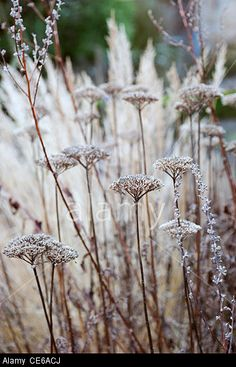 Stock Photo - Achillea filipendulina 'Goldplate' with Monarda didyma 'Gardenview Scarlet' seedheads in winter Spring Garden, Winter Garden, Nature Plants, Garden Plants, Plant Design, Garden Design, Achillea, Winter Plants, Weed Seeds