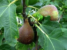 Ficus carica 'Olympian' Fig - tall, Bears fruit in cooler climates