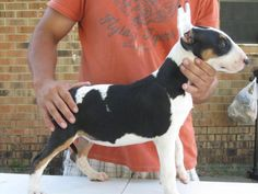 Bull Terrier: Colors: White, Red & White, Tri-color, Fawn & White, Brindle & White, White & Black Brindle