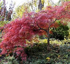 Japanese maples, love them. I have a teeny, tiny one in the backyard. I love the way they have pruned this one.