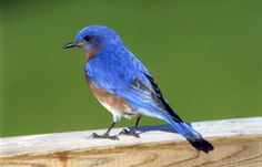 Attract them with bluebird houses.  They should be 8 inches tall, 5 inches wide and 5 inches deep. Make a 1-1/2-inch entrance hole centered 6 inches from the floor. Once you have a nesting box, mount it 5 to 10 feet high in an open and sunny area. The color of the box should remain natural, in light earth tones. from Birds and Blooms.