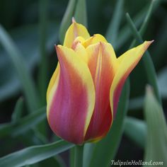 Love this lily shaped tulip! - Tulip Ballade Dream #travel to the #tulipsinholland spring 2017