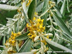Tipuana tipu un rbol resistente y decorativo arbustos for Ver fotos de arboles de hoja perenne