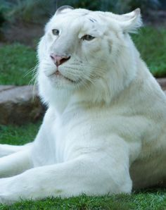 I ❤ big cats . beautiful white tiger ~By Holly Heckman Majestic Animals, Rare Animals, Animals And Pets, Wild Animals, I Love Cats, Big Cats, Cats And Kittens, Beautiful Cats, Animals Beautiful