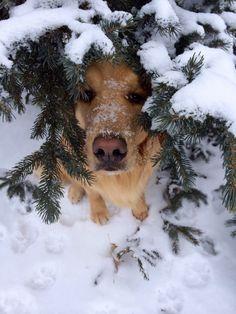 peeking through the snowy branches