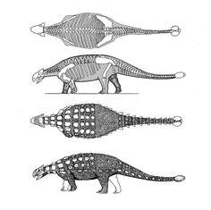 ankylosaurus   //Skeleton and life restoration.