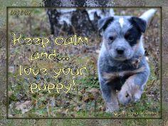 Australian Cattle Dog (ACD) / Slogan of  the Vanilegio Kennel / Allevamento Australian Cattle Dog Vanilegio www.vanilegio.it
