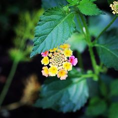 Lantana (Sunshine Rose) - Brooklyn Botanical Gardens