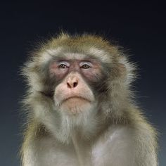 AmO Images, Funny Monkey Portraits by Jill Greenberg. Man Humor, Cops Humor, Jill Greenberg, Saint Yves, Funny Images, Funny Pictures, Funny Gifs, Great Quotes, Funny Quotes