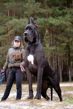 7 Dogs who are bigger than their owners, Click the pic to see all... Great Dane Dog Photography Puppy Hounds Chiens Puppies German / Danish Mastiff. I wonder what her leash is connected to. Hmmm...